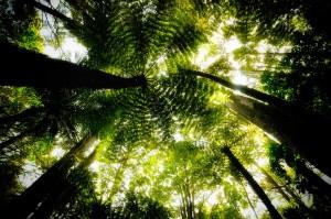 Farnbäume bei Kauri